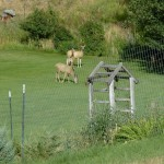 Deer eating grass in the garden.